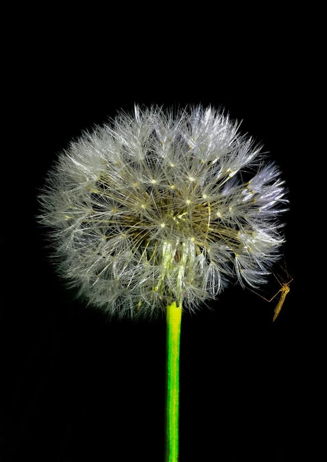 #shallowdepthoffield #nature #petsandanimals #walk #freetoedit #mosquito #flower #flower@night #luxxxs