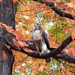 hawk nature natureinthecity petsandanimals photography