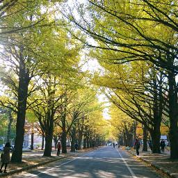 japan hokkaido hokkaidouniversity yellow ginkgo