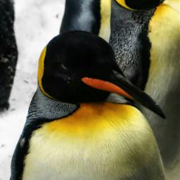 emperorpenguins penguin penguins love emotions
