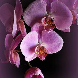 vignette orchid pink exotic