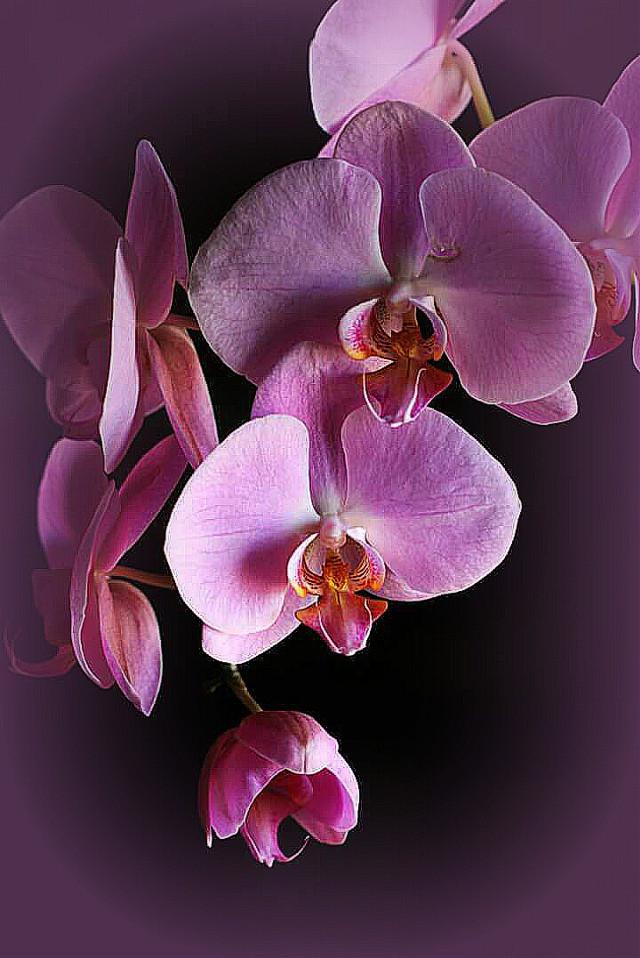 #vignette  #orchid  #pink  #exotic