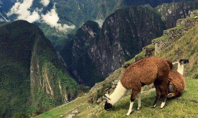 llamas machupicchu cusco travel photography