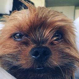 dog yorkie morning
