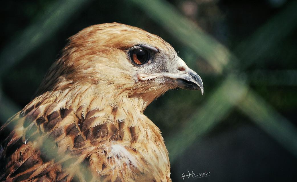 Hawk ...  #wppanimals