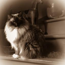 cat cats ragdoll sepia sepiaeffect