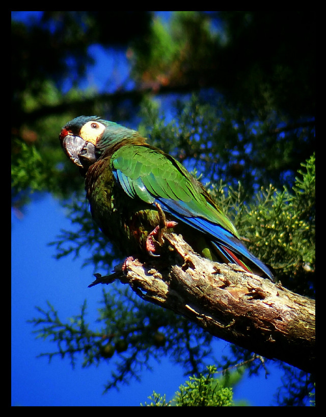 #Brasil #Teresópolis #bird #Nepô Portuguese = papagaio.