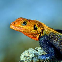 african agama lizard