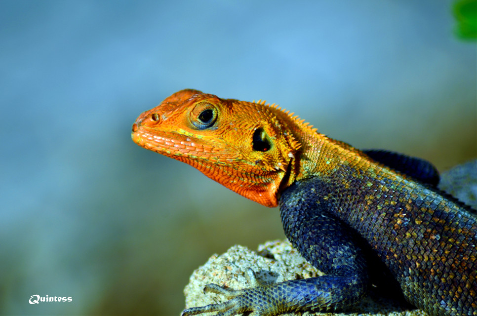 #African #Agama #Lizard