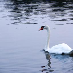 minimal serenity keepitsimple swan birds