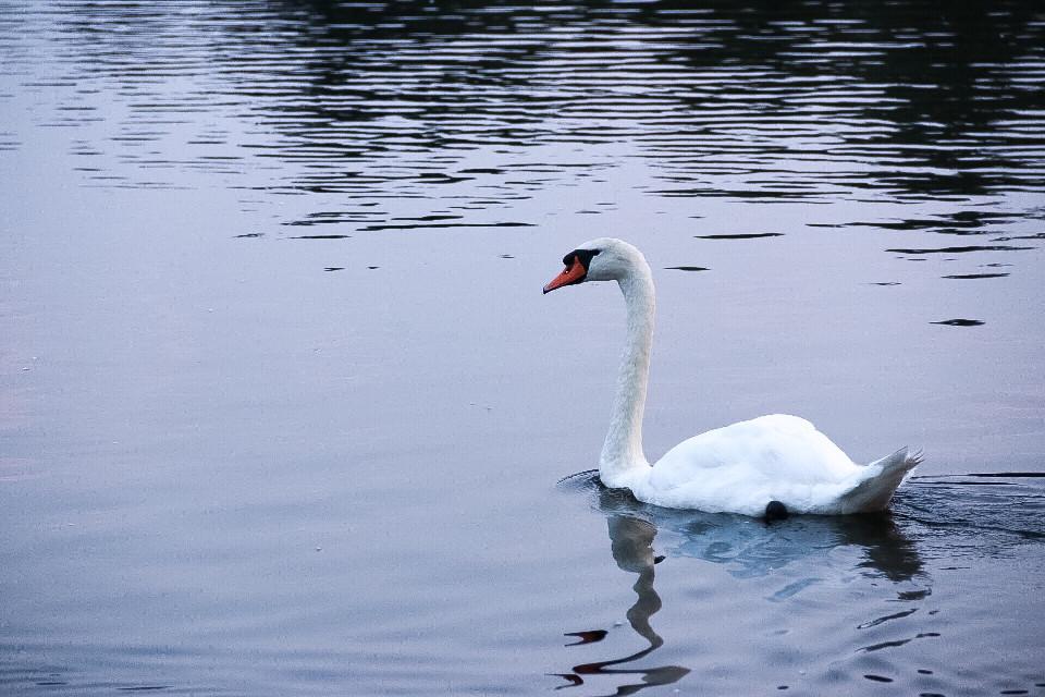 #minimal #serenity #keepitsimple #swan #birds #animals #nature #photography