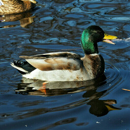 breath photography nature duck freetoedit