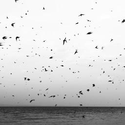 blackandwhite birds chaos freetoedit