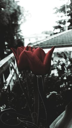 two tulips flowers vintageivoryeffect red