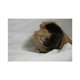 guineapig animal pig life goals