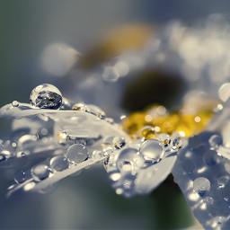 dewdrops daisy