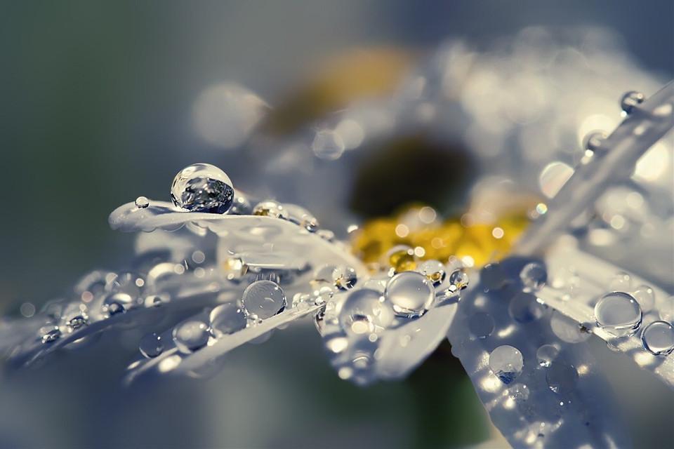 #dewdrops #daisy