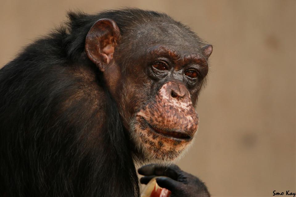 #chimpanzee #photography #nature #petsandanimals #animals #monkey #ape #zoo #animal #wildlife